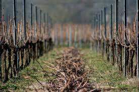 sarment de vigne